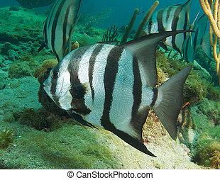 Spadefish,  Florida, atlántico, arrecife, este, sur