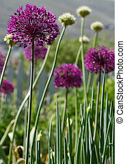 Allium, a member of the onion family, in beautiful purple...