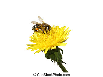 Honey bee on an yellow Dandelion fl - Bee collecting honey...