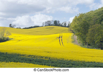 Rape Field at the Forest - Rape field at a forest near...