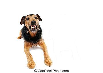 Angry dog - angry dog