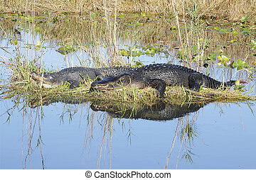 Alligator pair - 2 - Pair of American Alligators Alligator...