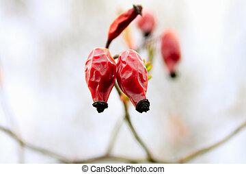 Fruits of rose hips