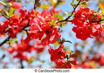 membrillo, arbusto, flores