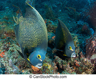 Pair of French Angelfish on a reef in south east Florida