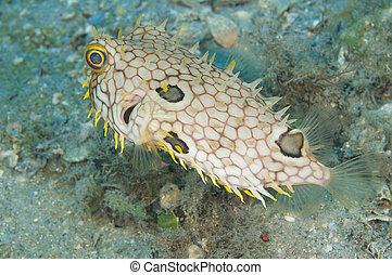 Webbed Burrfish, picture taken in south east Florida.