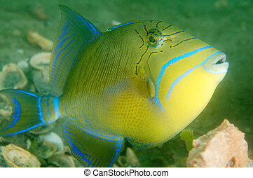Queen Triggerfish, picture taken in south east Florida.
