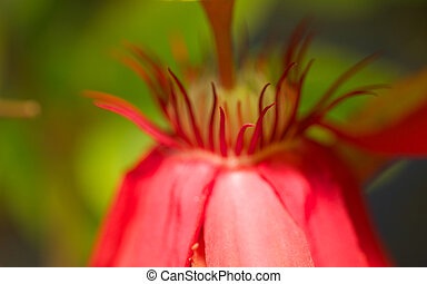 Beautiful Red passiflora flower in full bloom, south Florida...