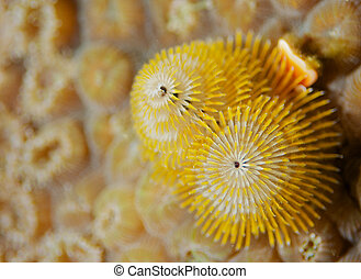 Christmas Tree Worm on giant star coral