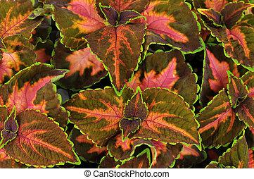 coleus leaves - Colorful leaves of Coleus (Solemnostemon)...
