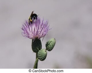 bumble bee busy pollinating flower - bumble bee buzzing...