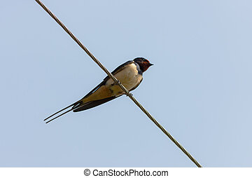 swallow sits on a wire - The lonely swallow sits on a wire