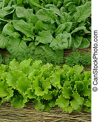 greens organic - some types of greens growing together on...