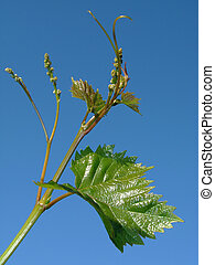 young grape clusters - vine sprout with young grape clusters...