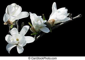 White Magnolia - White magnolia blossom isolated over black...