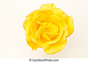 Single yellow rose macro