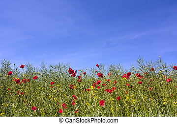 藍色, 罌粟, 天空, 針對, 領域