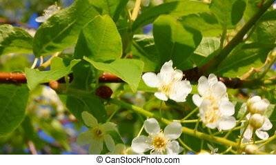 ladybug on cherry tree flowers