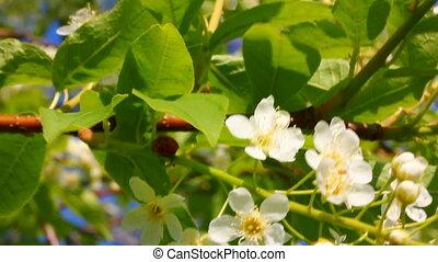 ladybug on cherry tree flowers