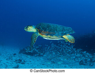 Loggerhead Turtle-Caretta caretta swimming over a reef in...