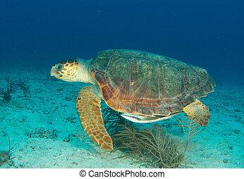 Loggerhead turtle swimming through the water