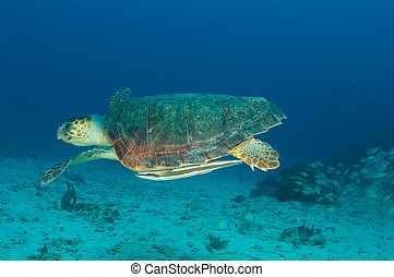 Loggerhead, tortuga, natación, por, agua