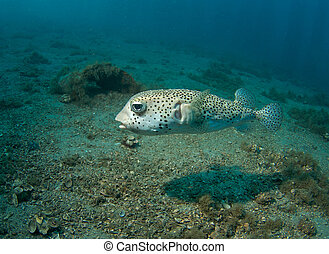 Large Porcupine Fish, picture taken in south east Florida