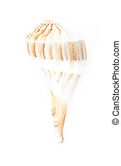 Lightning Whelk Shell Isolated and faded in to white background.
