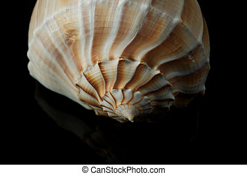 Lightning Whelk Shell Isolated on Black Background