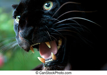 Black Leopard Snarling - Black leopard also referred to as a...