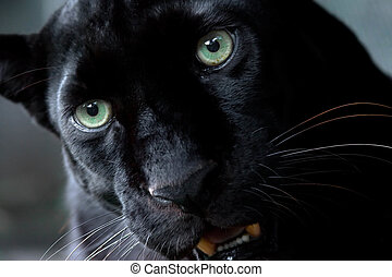 Black Leopard - Black leopard also referred to as a black...