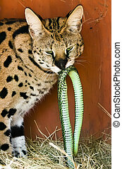 Serval with Dinner - African serval with a fresh catch in...