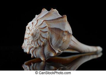 Lightning Whelk Shell Isolated on Black