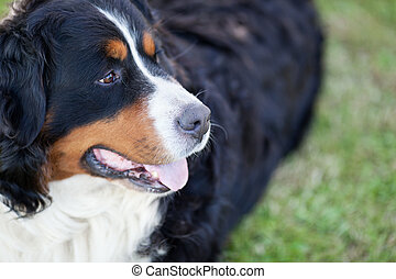 Bernese Mountain Dog (Berner Sennenhund, Bernois) - Bernese...