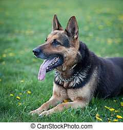 Clever German Shepherd dog lying in the spring grass,