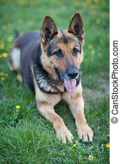 Clever German Shepherd dog lying in the spring grass
