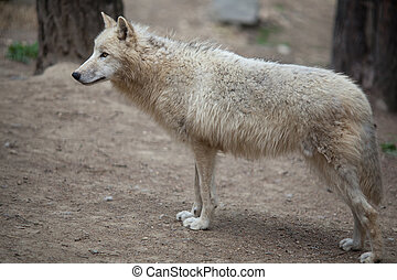 Arctic Wolf (Canis lupus arctos) aka Polar Wolf or White Wolf