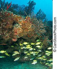 arrecife, Florida, francés, Gruñidos, repisa, debajo, este,...