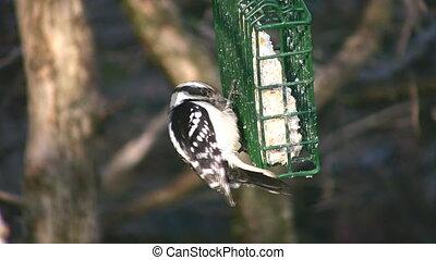 Woodpecker. - Female Downy woodpecker feeds on suet in a...