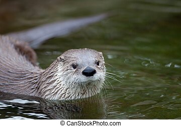 European Otter Lutra lutra, also known as Eurasian otter,...