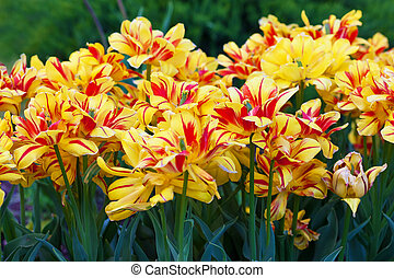 Flowerbed with yellow and red tulips
