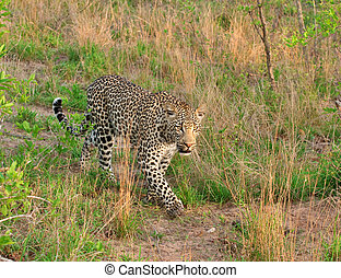 african leopard - adult male leopard walking in grass in...