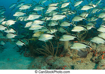 Schooling Cottonwick Grunts on a reef in Boca Raton, Florida.
