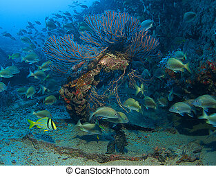 White Grunts around a deepwater sea fan on an artificial reef in south east Florida.