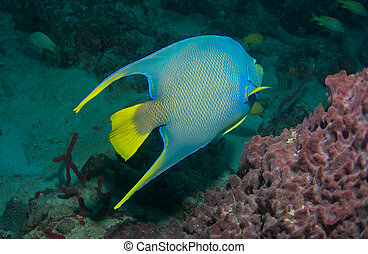 Blue Angelfish on a reef in south east Florida.