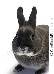 portrait of a dwarf rabbit in studio on white background...