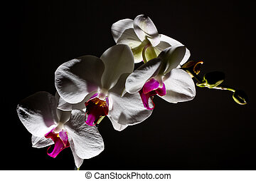 orchidea isolated on dark background - image shows orchidea...