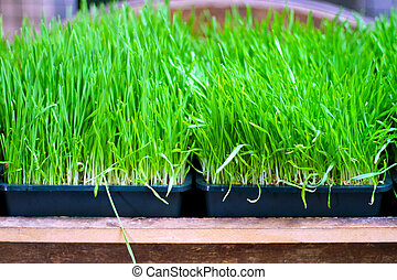 Wheat grass - Organically grown wheat grass ready for...