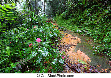 Rainforest Path - Puerto Rico - Path through the foggy Toro...
