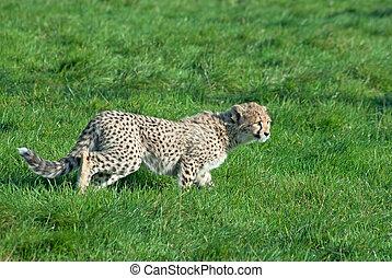 Cheetah cub prowls